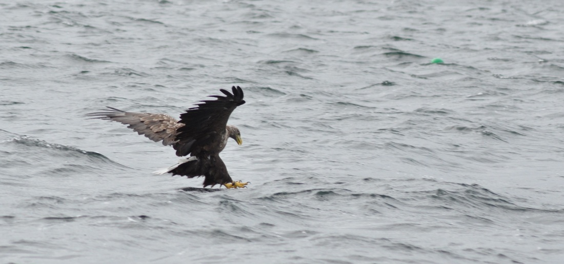 Sea Eagle Mull